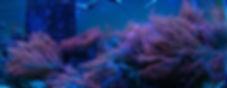 red rose anemones2006Crop.jpg