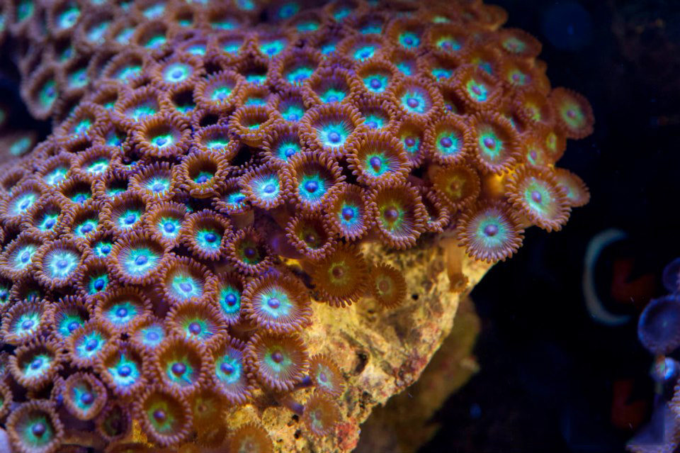Zooanthid