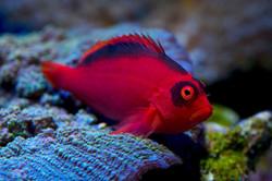 HawkFish2