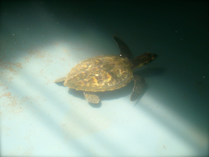 Patient in the Yuku-Baja-Muliku Ranger's Turtle Rescue and Rehabilitation Centre