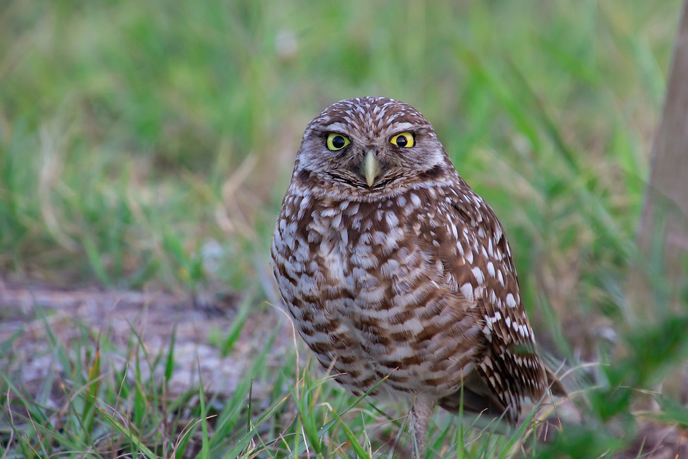 Burrowing Owl in Marco Island, Florida