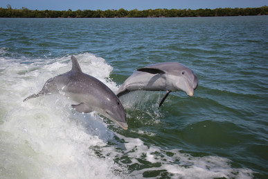 Dolphins love the wake