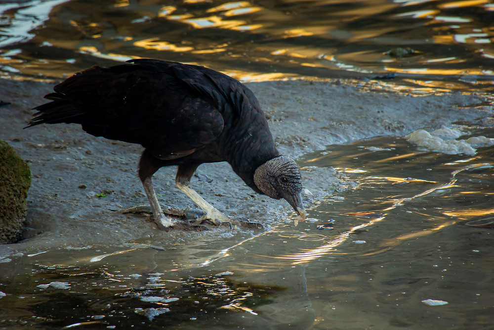 Black Vulture eating a fish and drinking some water in the morning just after sunrise