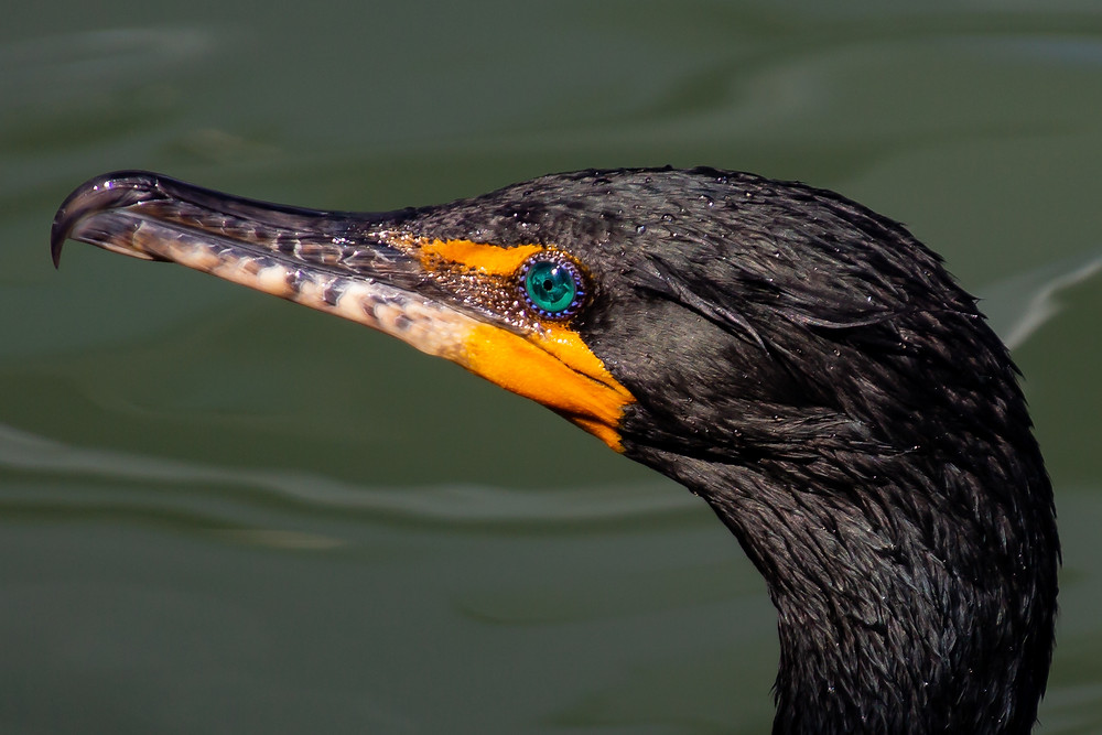 beautiful jewel like eyes of the cormorant