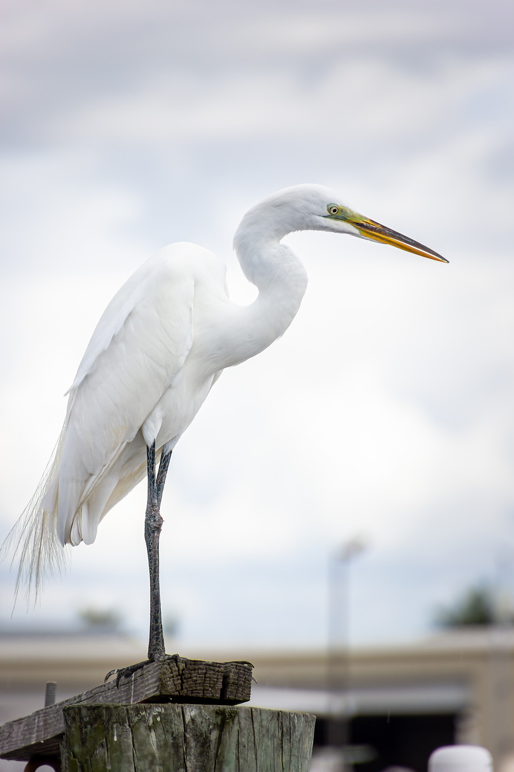 Egret looking for food at the Rose Marina in Marco Island, Florida