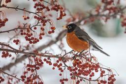 Robin in Minnesota Winter
