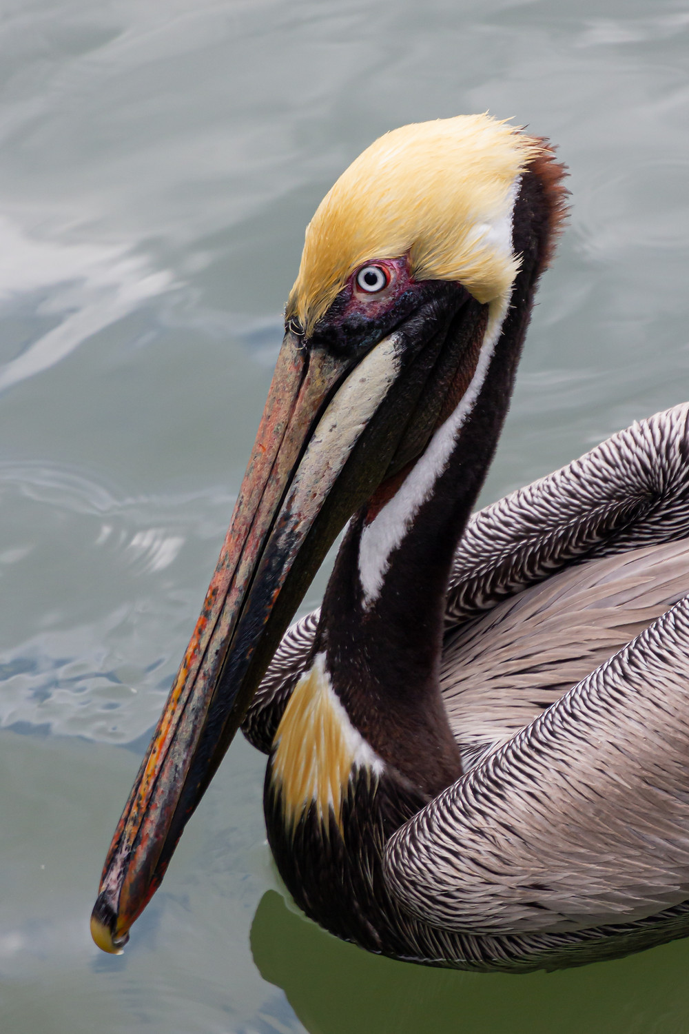 Adult Brown Pelican swimming in the marina looking for scraps of fish