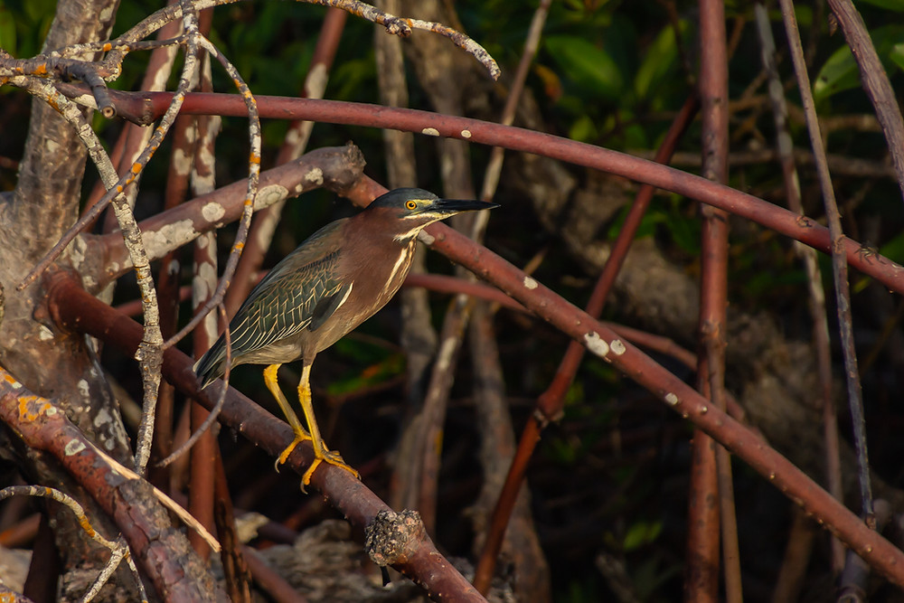 Green Heron along the mangroves near Isle of Capri