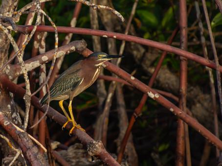 Birds of Marco Island, Florida