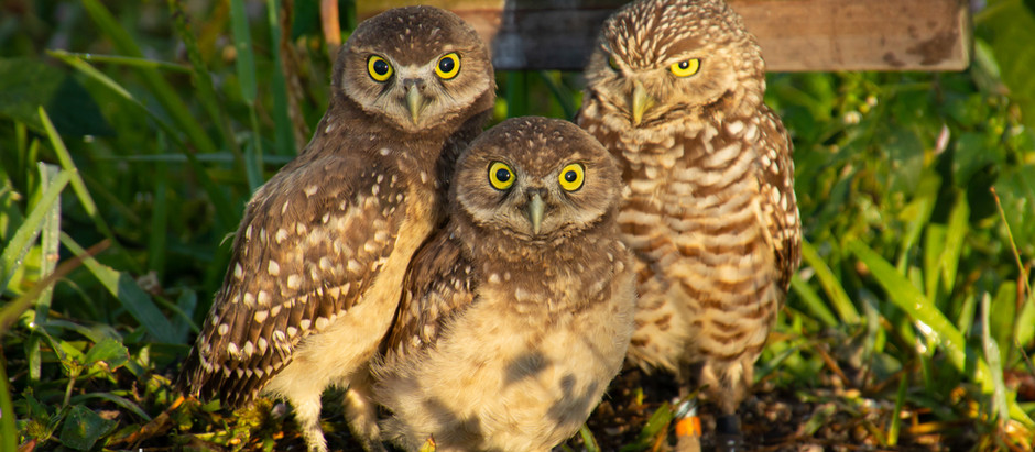 Florida Burrowing Owls
