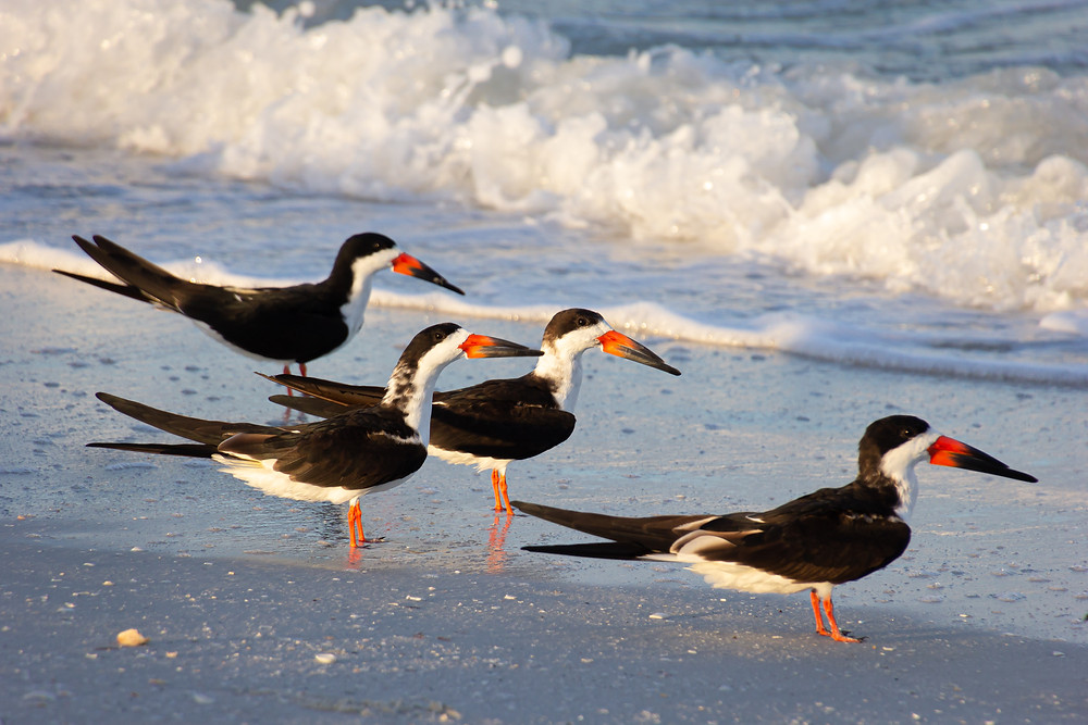 Black skimmer on the beach of Marco Island, Florida