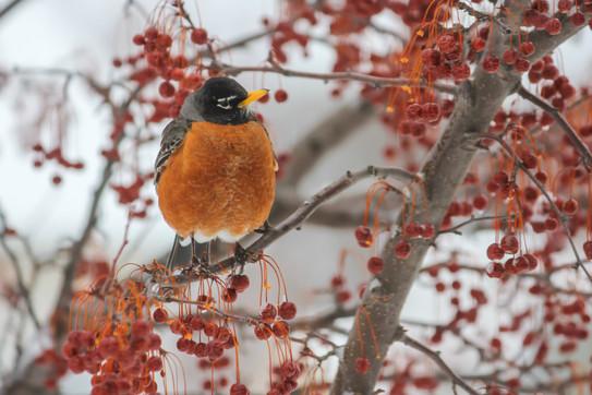 robin in mn winter