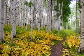 Aspen Trees Colorado