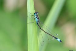 Insecte libellules 2017