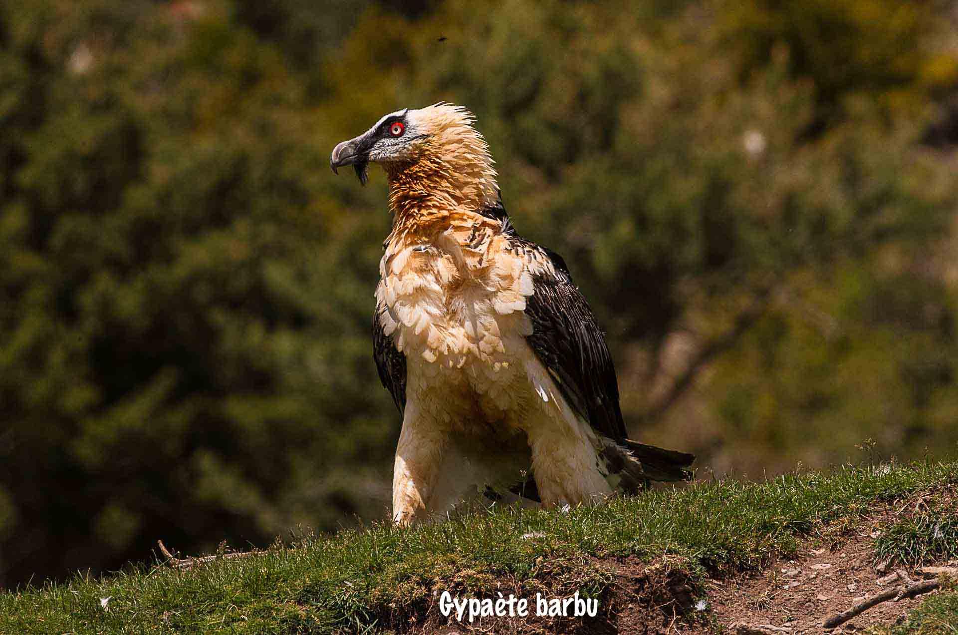 Gypaète barbu-3