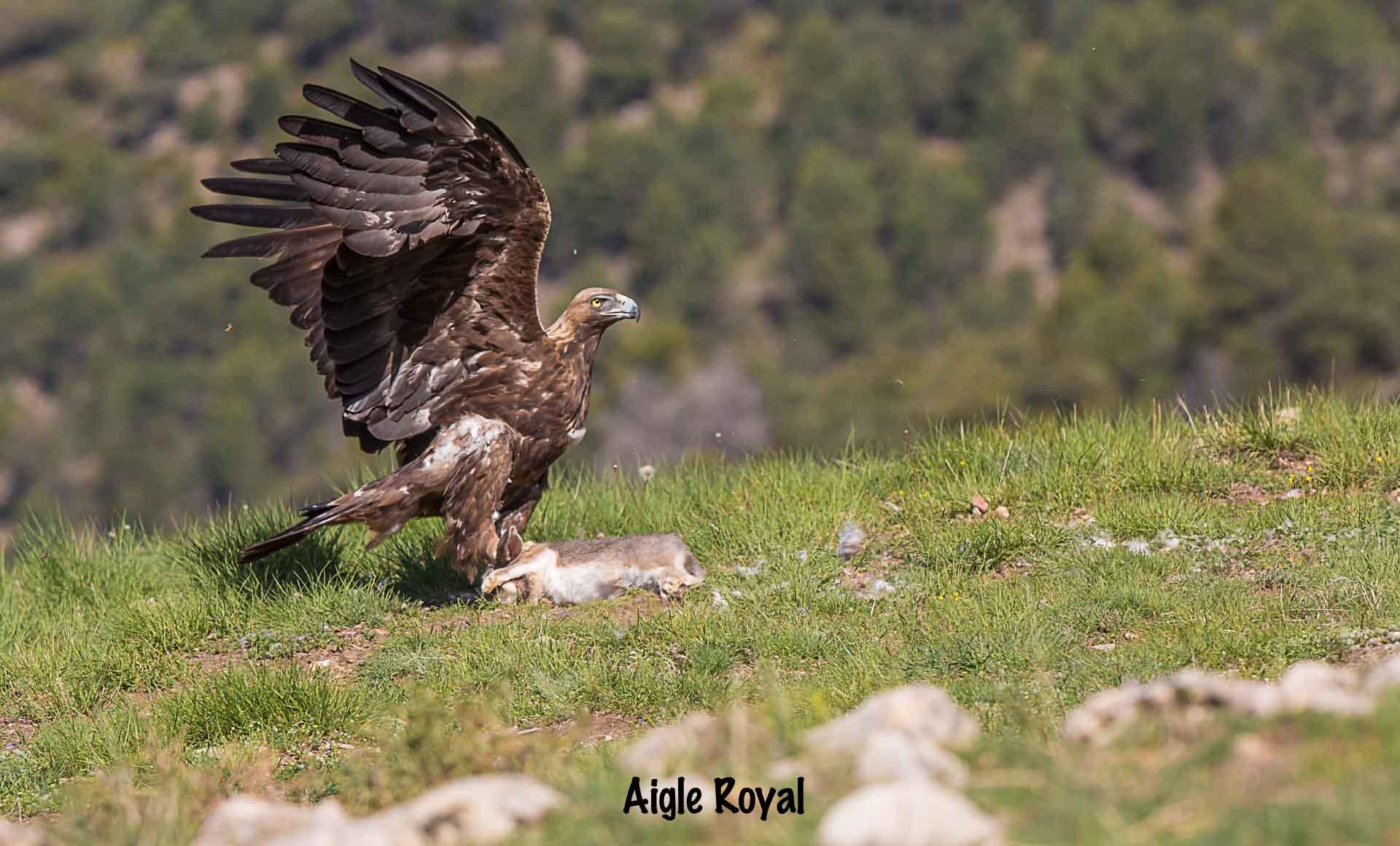Aigle royal copie