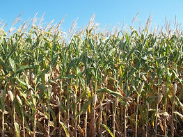 CRF Corn.jpg
