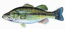 Largemouth Bass.jpg