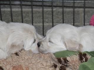 Welpen Pippa und Sophie