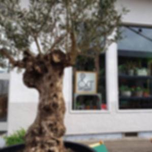 #樹齢 150年以上の#オリーブ の#古木 #シンボルツリー #ボタニカルライフ