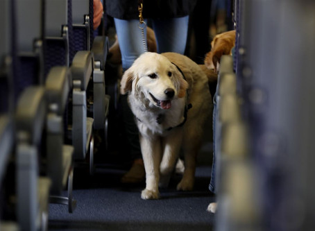 Service dog dilemma: Untrained animals should not be in plane cabins