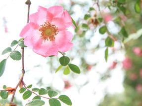 Rosen aus Marias Garten
