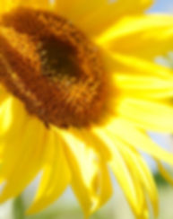 Sonnenblume A.jpeg