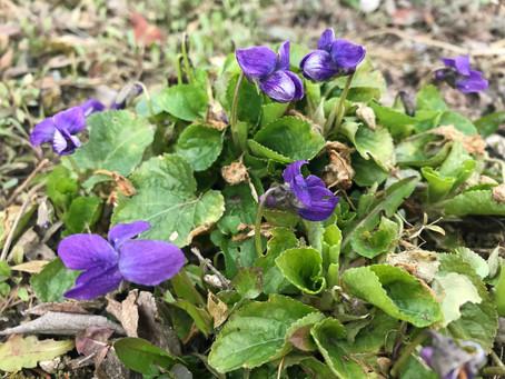 Viola odorata - das wohlriechende Veilchen