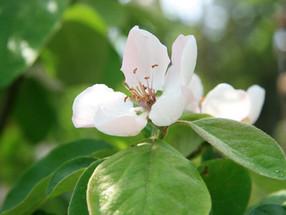 Die Quitte - goldener Apfel der Hesperiden