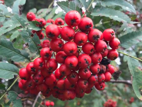 Eberesche, Vogelbeere - Sorbus aucuparia