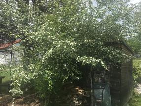 Weißdorn - Maienblüte - Hagedorn - Schlafdorn - Crataegus