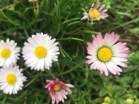 Gänseblümchen - Tausendschön