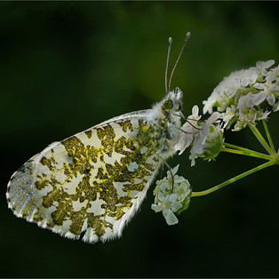 Orange Tip warming in the early morning