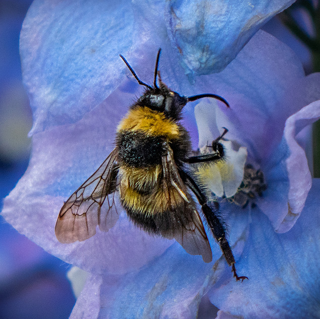 Bee Feeding On Delphinium