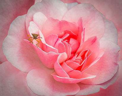 Pink Rose with Shield Bug.jpg