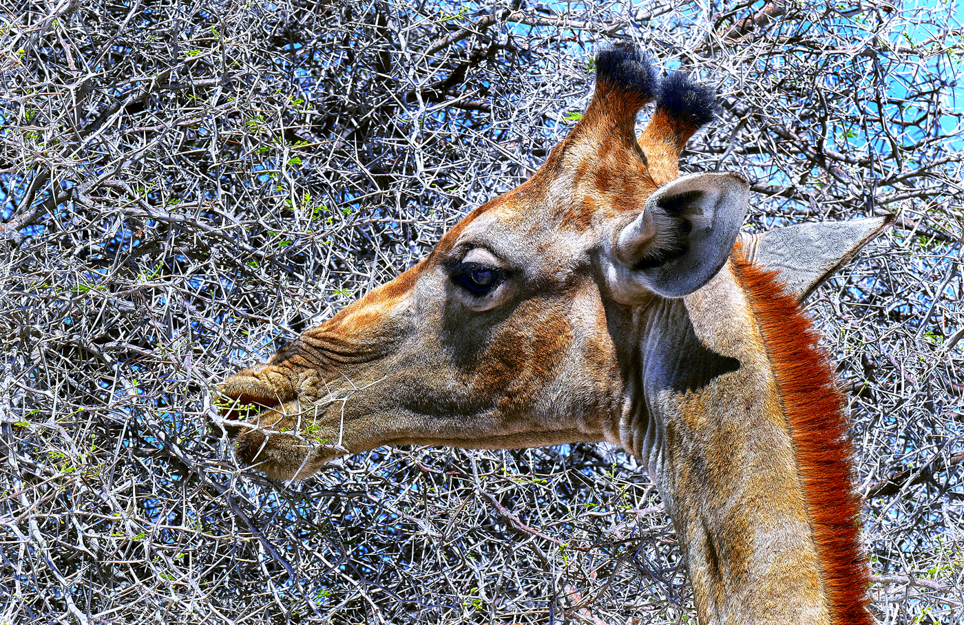 Giraffe eating camelthorn