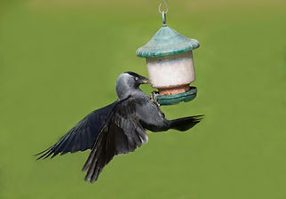 Jackdaw on peanut feeder 2.jpg