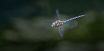 Emperor Dragonfly in Flight.jpg