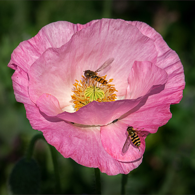 Poppy with Hoverflies