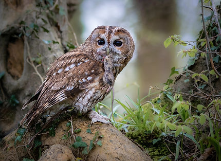 Tawny Owl with dinner.jpg