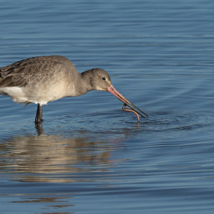 Black Tailed Godwit catching a worm