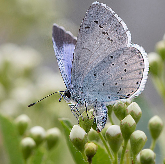 Small blue butterfly egg laying