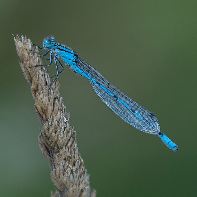 Warming Common Blue Damselfly
