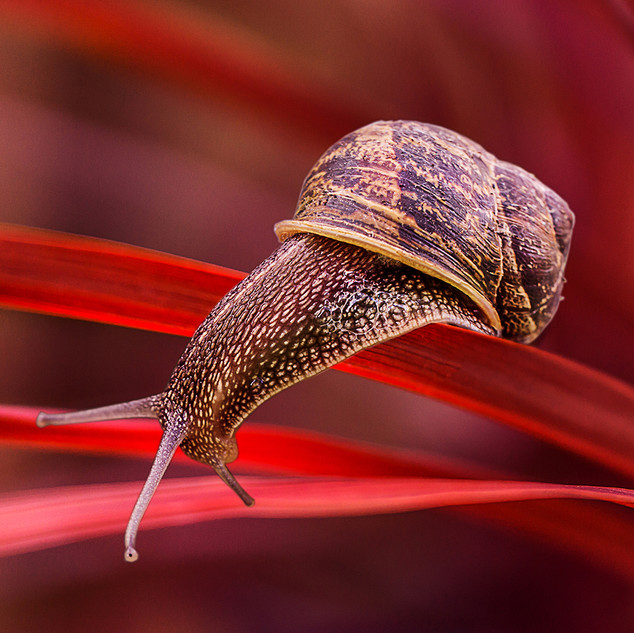 Snail on a Red Leaf