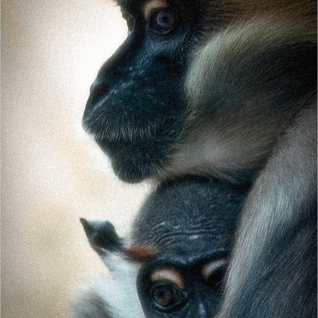 Mangabey Monkeys