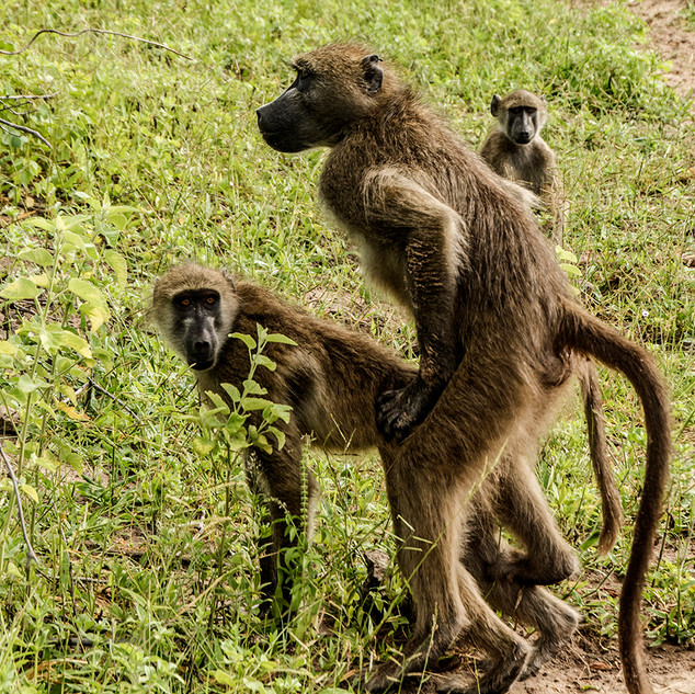 Mating Baboons