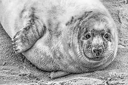 Grey Seal Pup.jpg