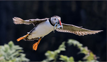 Puffin With Sand Eeel's.jpg