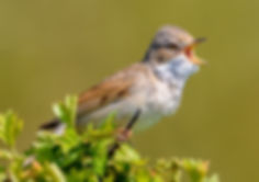 Whitethroat In Full Song.jpg