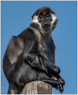 Mangabey Monkey.jpg